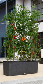 Tomaten in LECHUZA TRIO