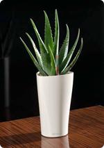 Aloe in LECHUZA