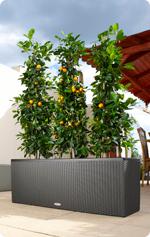 Citrusplanten in LECHUZA TRIO